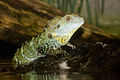 Gippsland water dragon1.jpg