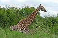 Giraffe (Giraffa camelopardalis) lying down on the ground (16142990084).jpg