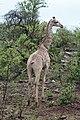 Giraffe in Zulu Nyala Reserve 01.jpg