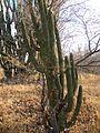 Glandulicereus thurberi (5769163270).jpg