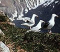 Glaucous-winged gull colony in Glacier Bay.jpg