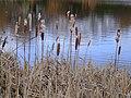 Gloucester Park (5) - bullrushes - geograph.org.uk - 336161.jpg