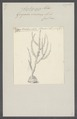 Gorgonia viminea - - Print - Iconographia Zoologica - Special Collections University of Amsterdam - UBAINV0274 109 02 0024.tif