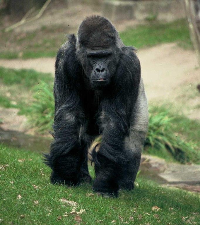 Gorilla Vs Big Cat