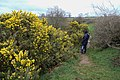 Gorse in flower - geograph.org.uk - 743447.jpg