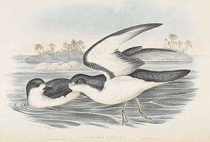 Gould's petrel - Gould's petrel illustrated by John Gould with Cabbage Tree Island in the background
