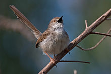 Graceful prinia.jpg