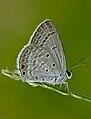 Gram Blue (Euchrysops cnejus).jpg