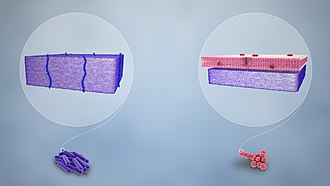 Gram stain - Purple-stained gram-positive (left) and pink-stained gram-negative (right)