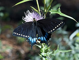 <i>Papilio indra</i> species of insect