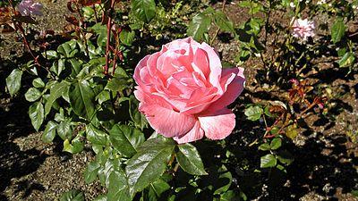 Grandiflora - Queen Elizabeth 3 (cr).JPG