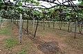 Grapes Field @ Theni - panoramio (2).jpg