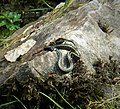 Grass Snake. Natrix natrix (31114536958).jpg