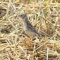 Grasshopper Sparrow (19047927340).jpg