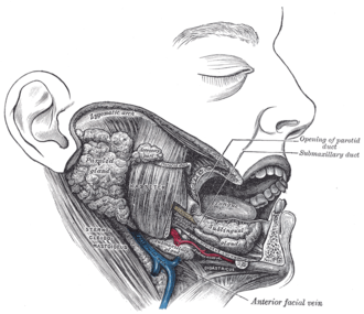 Submental artery - Dissection, showing salivary glands of right side. (Submental artery visible at bottom right.)