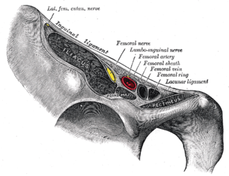 Inguinal ligament - Structures passing behind the inguinal ligament. Frontolateral view of the right side of the pelvis.