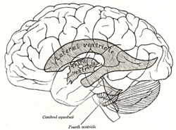 Fourth ventricle wikipedia scheme showing relations of the ventricles to the surface of the brain fourth ventricle labeled at bottom center ccuart Choice Image