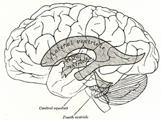 Lateral ventricles Two largest ventricles in each cerebral hemisphere
