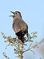 Gray Catbird (7189088678).jpg