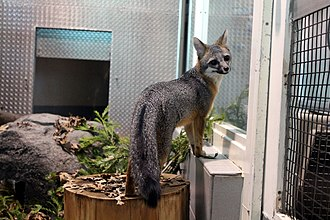 Lindsay Wildlife Experience - A gray fox at the Lindsay Wildlife Museum