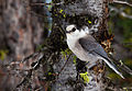 Gray Jay in Late Spring.jpg