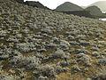 Gray matplant - Flickr - pellaea.jpg