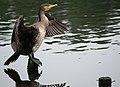 Great Cormorant PT.jpg