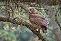 Great Horned Owl (juvenile) (28705958417).jpg