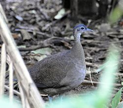 Great Tinamou (7047646543).jpg