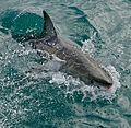 Great White Shark (Carcharodon carcharias) (32069952704).jpg