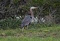 Great blue heron (61210).jpg