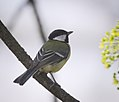 Great tit (27642624418).jpg