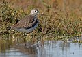 GreaterYellowlegs-16DEC2017.jpg