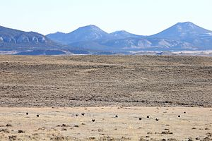 Little Rocky Mountains - Greater sage-grouse in lek, with the Little Rocky Mountains in the background