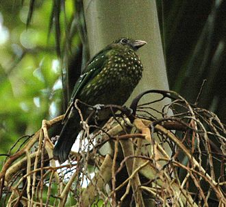 Budawang National Park - Green catbird