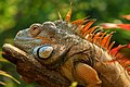 Green Iguana Portrait (120776875).jpeg