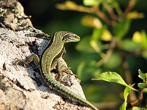 Claw - Using its claws for anchoring, a green lizard basks.