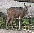 Grosser Kudu Tragelaphus strepsiceros Tierpark Hellabrunn-16.jpg