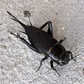 Gryllus bimaculatus. Female. Gryllidae - Flickr - gailhampshire.jpg