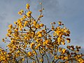 Guayacán amarillo (Tabebuia chrysantha) (14279117105).jpg