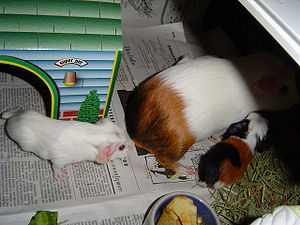 English: Guinea pig pups can walk soon after b...