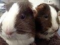 Guinea pigs 7.jpg