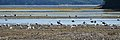 Gulls - Springdale, Newfoundland 2019-08-16 (01).jpg