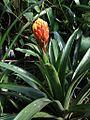 Guzmania conifera (TS) 2-01168.jpg