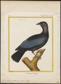 Gymnoderus foetidus - 1700-1880 - Print - Iconographia Zoologica - Special Collections University of Amsterdam - UBA01 IZ16600137.tif