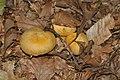 Gymnopilus validipes (Peck) Hesler 299029.jpg