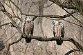 Gyps fulvus at zoo Salzburg-0010.jpg