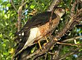 HAWK, COOPER'S (7-6-11) patagonia-sonoita creek preserve, scc, az - 01 (5909955793).jpg
