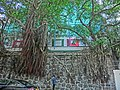 HK Sheung Wan Hollywood Road Stonewall Banyan trees 15-Mar-2013.JPG