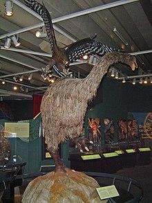 Um modelo do museu Te Papa (Nova Zelândia) que mostra uma águia-de-haast atacando um moa com suas garras